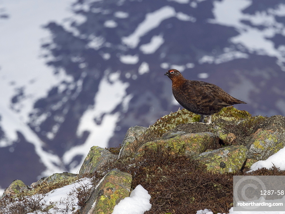 Male Red Grouse on the spring snowfields above Glenshee looking for food, Scottish Highlands, United Kingdom, Europe