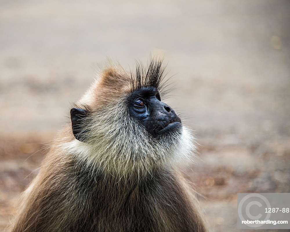 The tufted gray langur (Semnopithecus priam), also known as Madras gray langur photographed in Sri Lanka