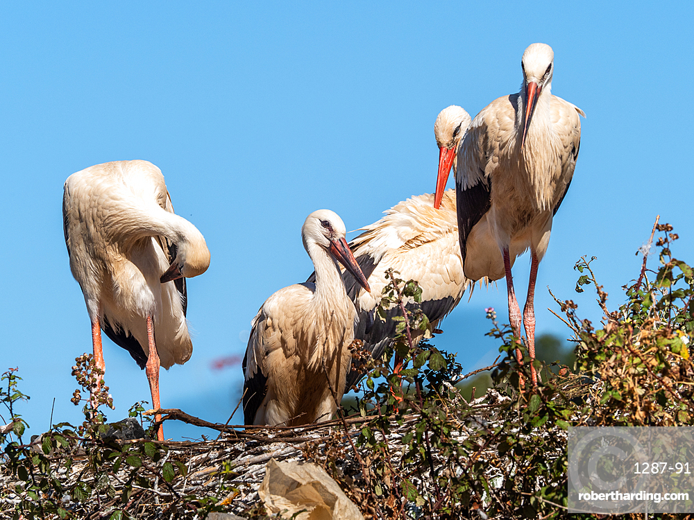 White storks (Ciconia ciconia), nesting on the top of fruit trees, Algarve, Portugal, Europe
