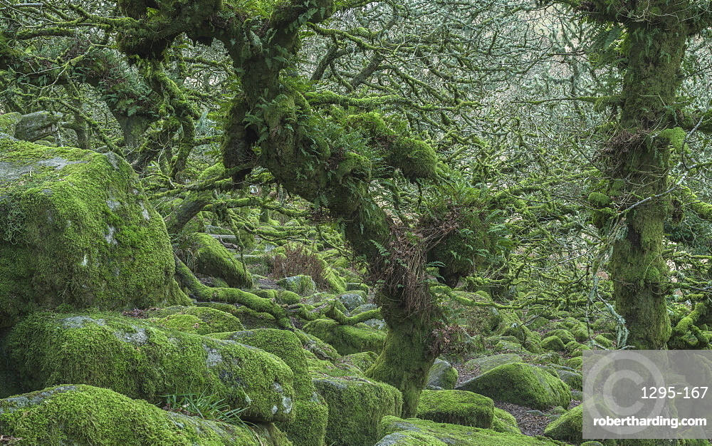 The distinctive gnarled moss & fern covered oaks in Wistman's Wood, near Princetown, Devon UK