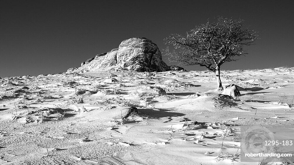 Hawthorn and Haytor Rocks in snow - Haytor, Bovey Tracey, Devon UK