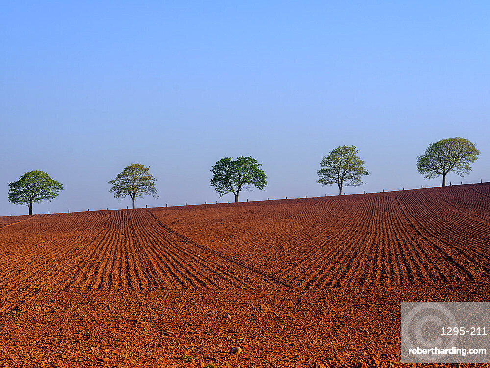 Spring foliage on line of trees beyond freshly ploughed field at Dart's Farm, Topsham, Devon, UK