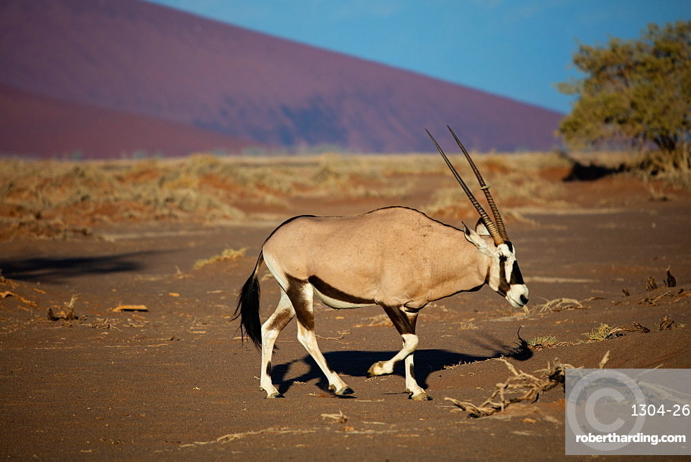 Oryx Strolls through the Sossusvlei National Park, Namibia - taken at sunrise in late summer 2019.