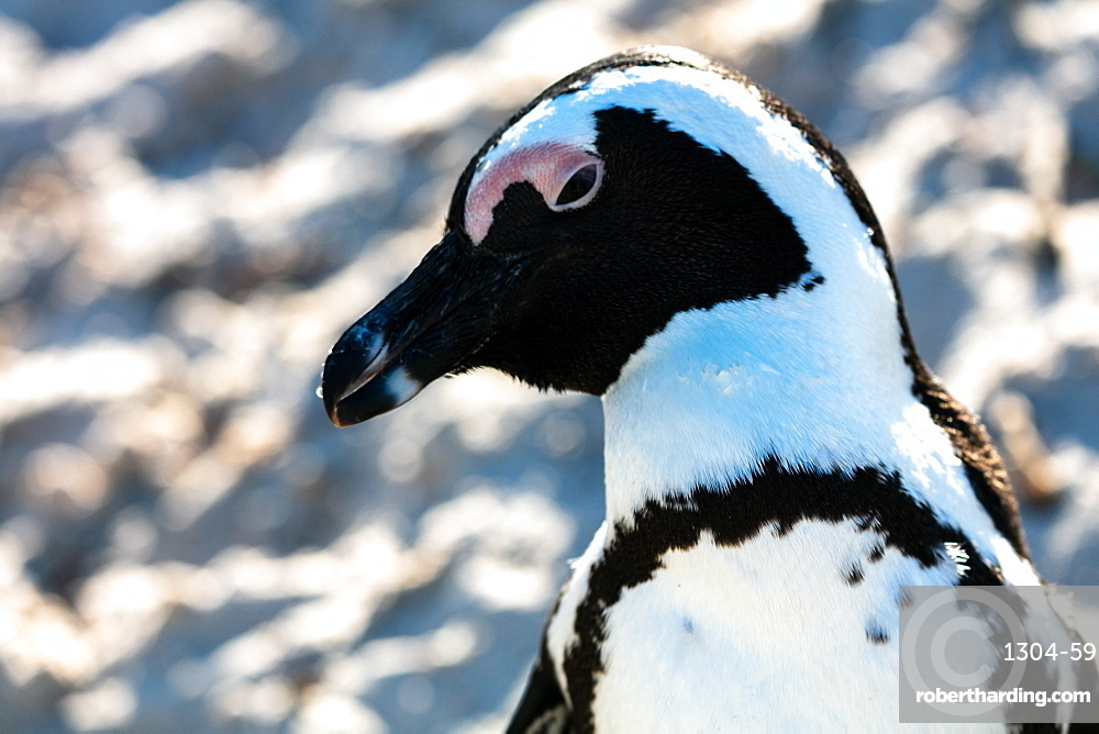 African Penguin, Boulders Beach in Cape Town, South Africa, Africa