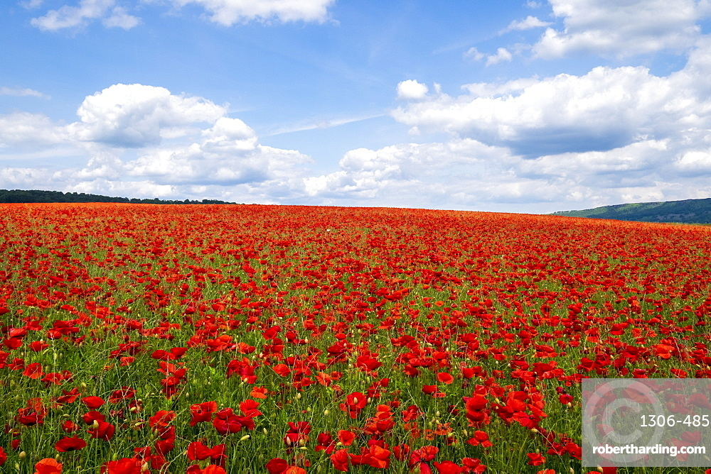 Red poppies set in the Derbyshire countryside. Baslow, Derbyshire
