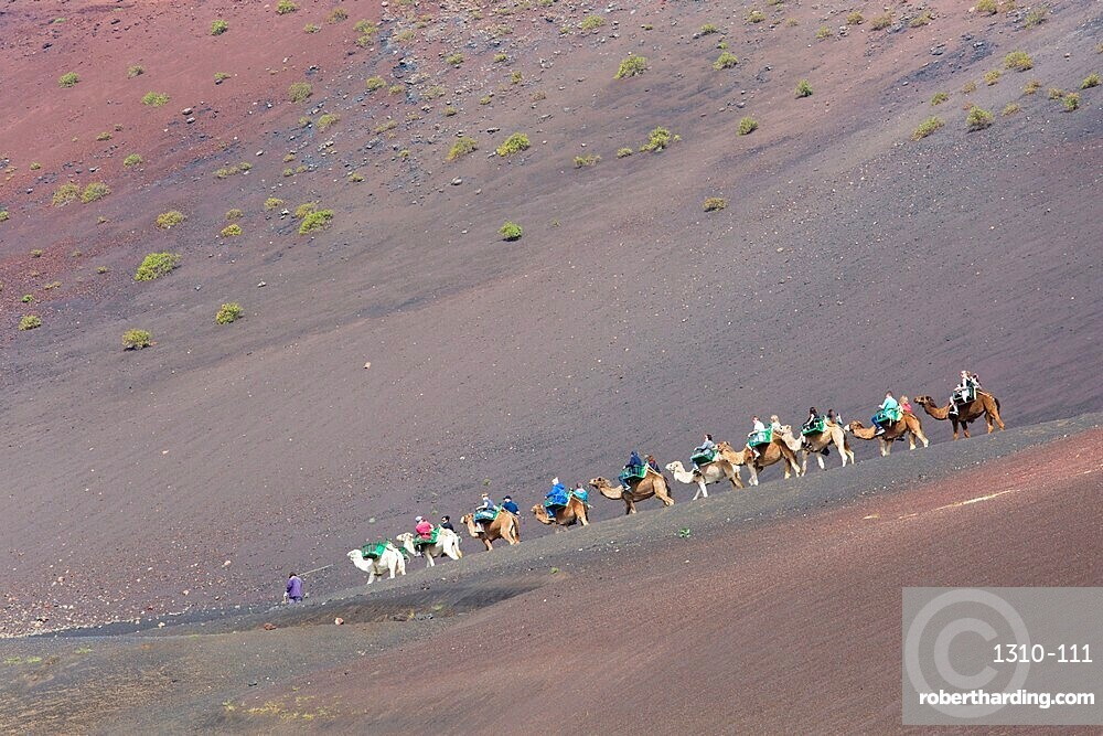 Tourist camel train in red volcanic landscape, Timanfaya National Park, Yaiza, Lanzarote, Las Palmas, Canary Islands, Spain