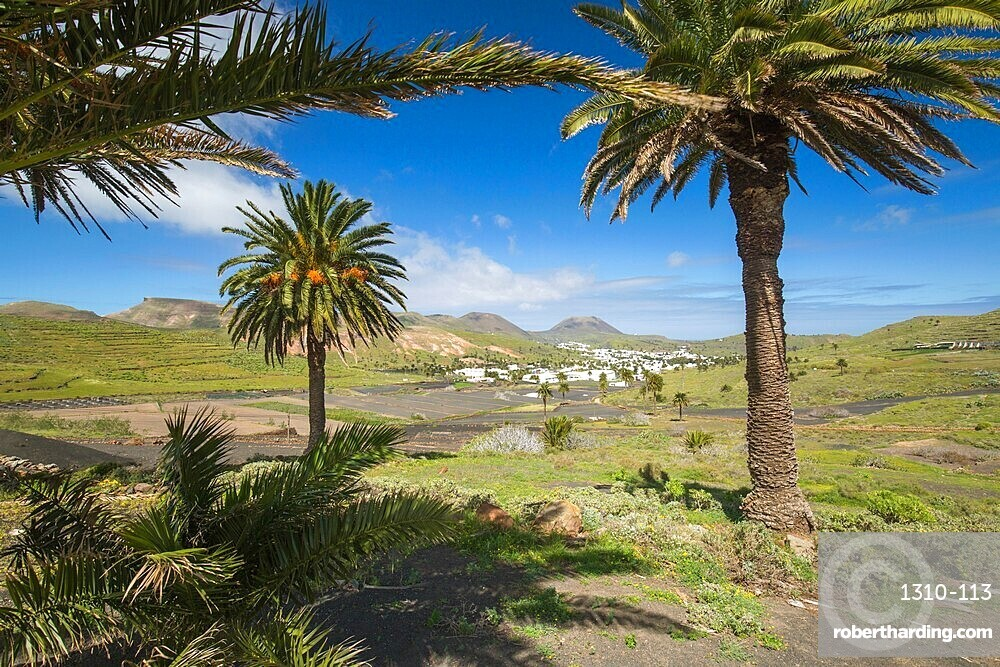 Palm trees growing in volcanic landscape in the Valley of a Thousand Palms, Haria, Lanzarote, Las Palmas, Canary Islands, Spain