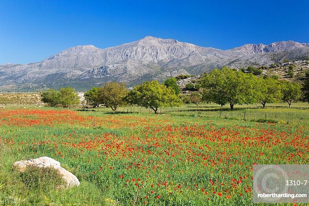 View across field of wild poppies to Mount Dikti, near Tzermiado, Lasithi Plateau, Lasithi (Lassithi), Crete, Greek Islands, Greece, Europe