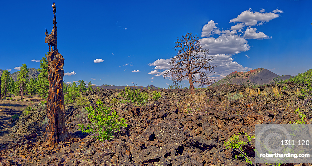 Burned out tree on the left with Sunset Crater Volcano in the background, near Flagstaff, Arizona, United States of America, North America