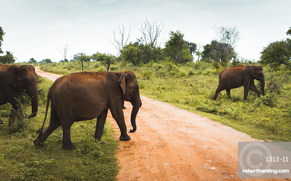 A family of elephants cross the track in Udawalawe National Park, Sri Lanka.