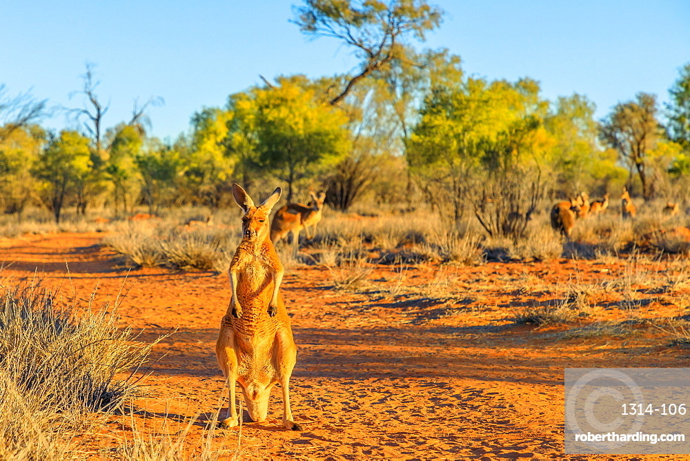red kangaroo, Macropus rufus, standing on the red sand of outback central Australia. Australian Marsupial in Northern Territory, Red Center. Desert landscape at golden sunset.