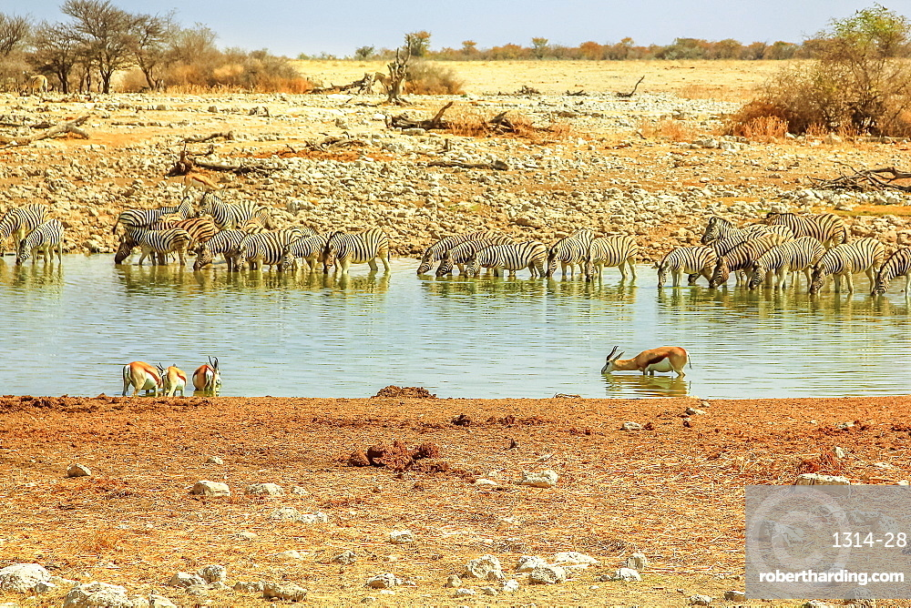Zebras and springboks drinking at Okaukuejo waterhole of Etosha National Park in Namibia. Namibian savannah background.