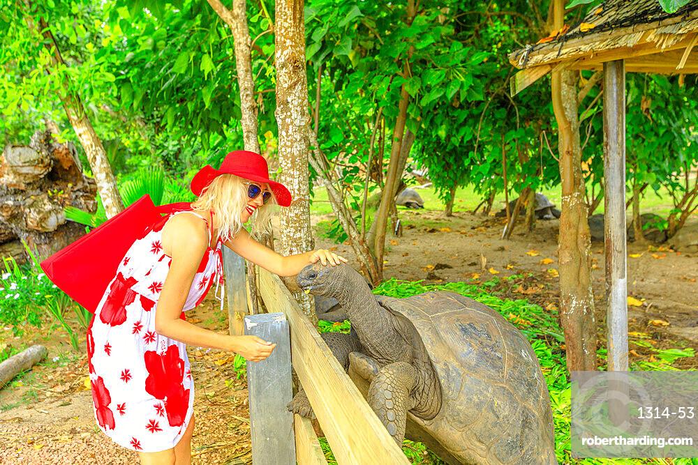 Elegant caucasian blonde female with sunhat feeding a male of Aldabra Giant Tortoise, Aldabrachelys gigantea, a tortoise native to Aldabra atoll. Praslin in Seychelles, archipelago of Indian Ocean