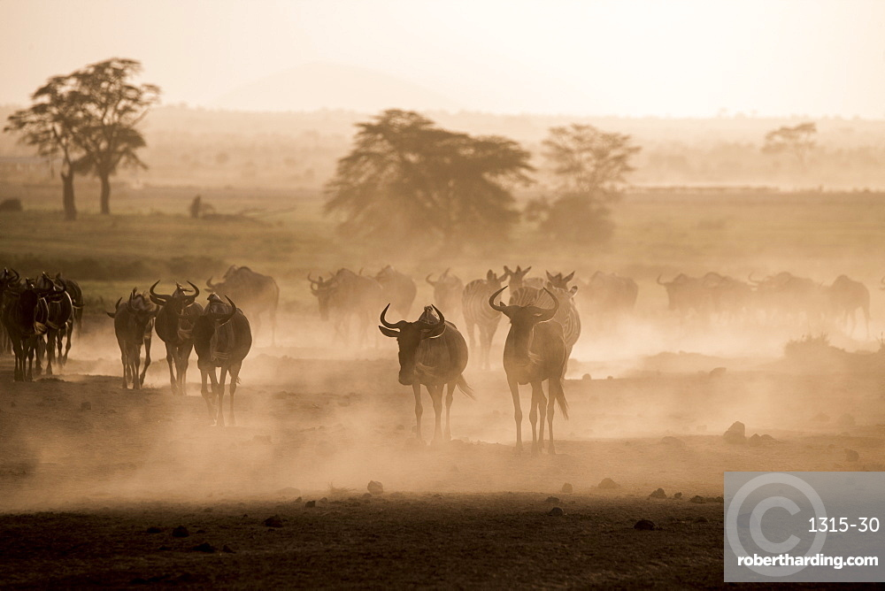 Wildebeests and zebras on the move across the dusty landscape of Amboseli National Park, Kenya, at dusk.
