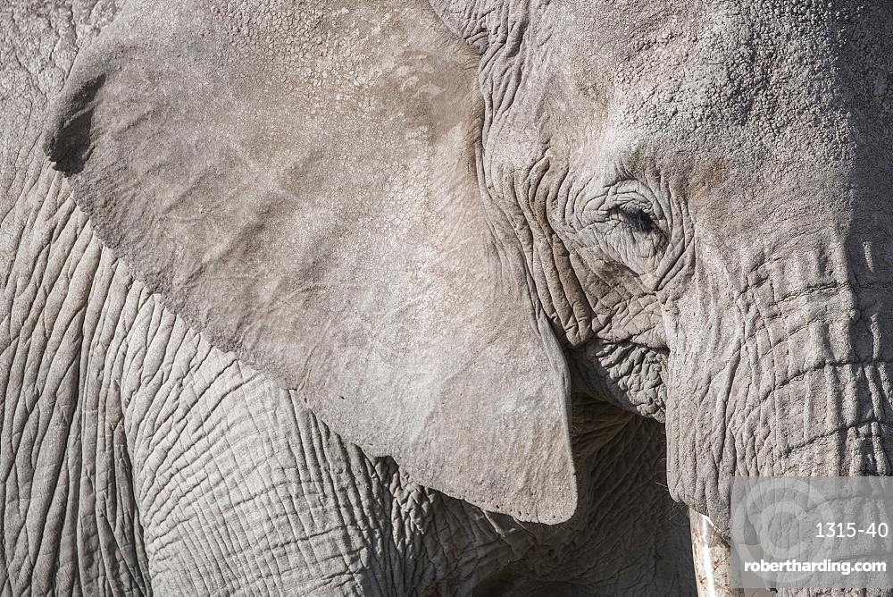 Closeup of an elephant in Amboseli National Park, Kenya, East Africa, Africa