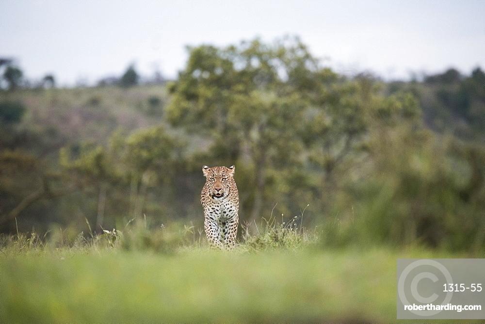 Leopard walking across the savannah in the Maasai Mara National Reserve, Kenya.