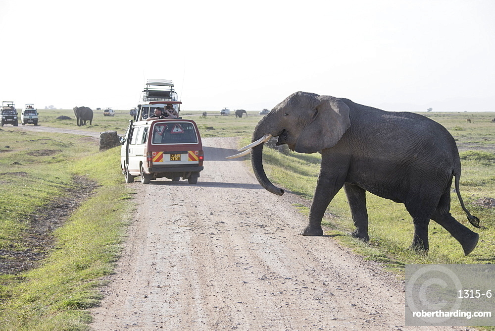 Elephant crossing the road in Amboseli National Park, Kenya, East Africa, Africa