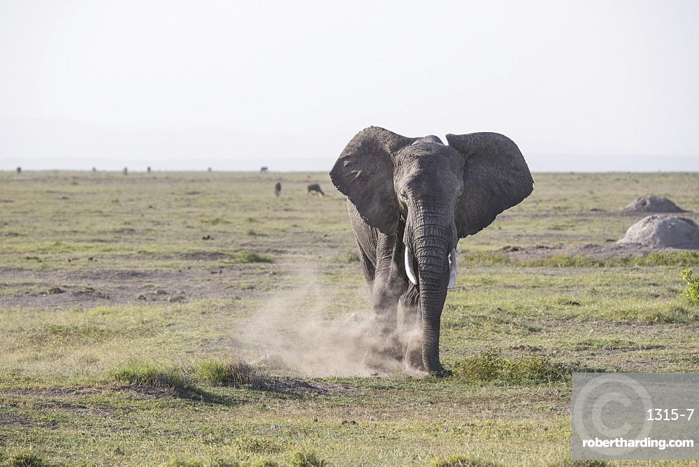 Elephant stirring up dust in Amboseli National Park, Kenya, East Africa, Africa