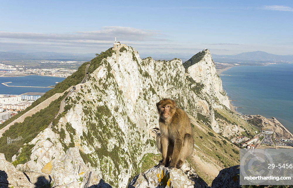 Resident Barbary macaque, with view north along the Rock behind him, Gibraltar, Europe