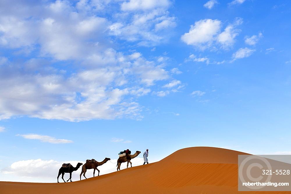 Berber man leading a train of camels over the orange sand dunes of the Erg Chebbi sand sea, Sahara Desert near Merzouga, Morocco, North Africa, Africa