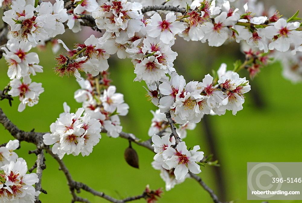 Almond blossom time, Majorca, Balearic Islands, Spain, Europe