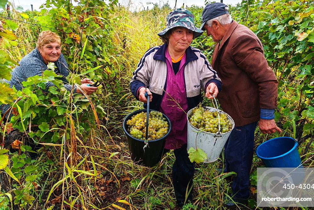 Harvesting Rkatsiteli grapes, Ikalto, near Telavi, Georgia, Central Asia, Asia