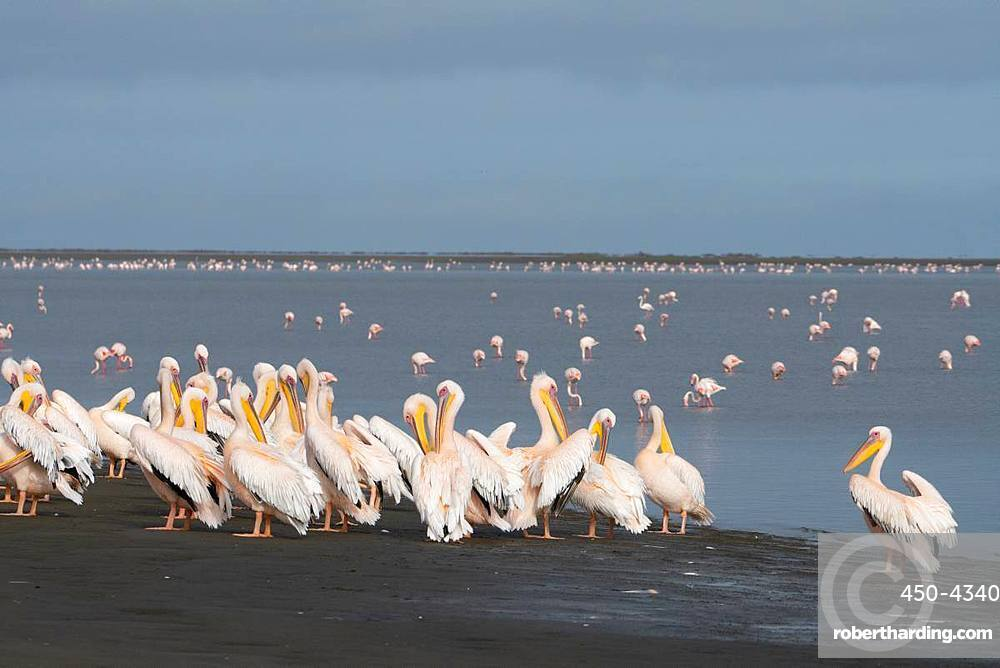 Great White African Pelicans gather on the Wetlands, Greater Flamingos with pink bills in the background, Walvis Bay, Namibia, Africa