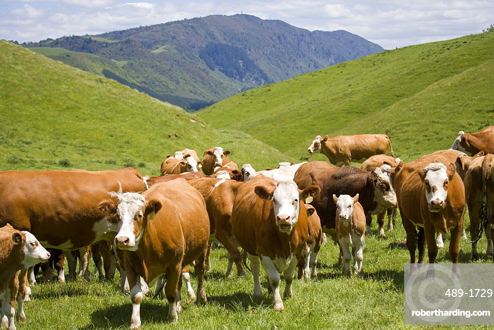 Simmental cows and calves, North Island, New Zealand, Pacific