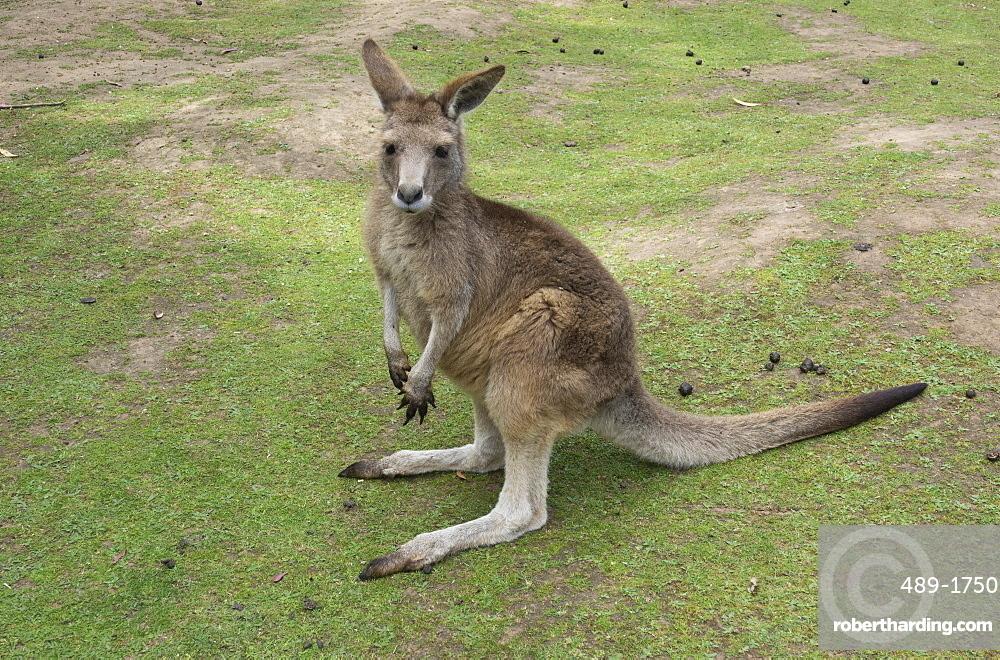 Tasmanian Forester Kangaroo, Tasmania, Australia, Pacific