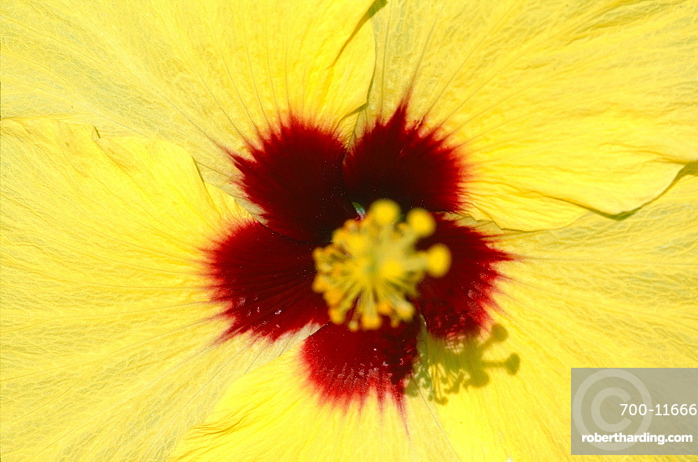 French Polynesia, Tropical Flowers, Yellow Hibiscus