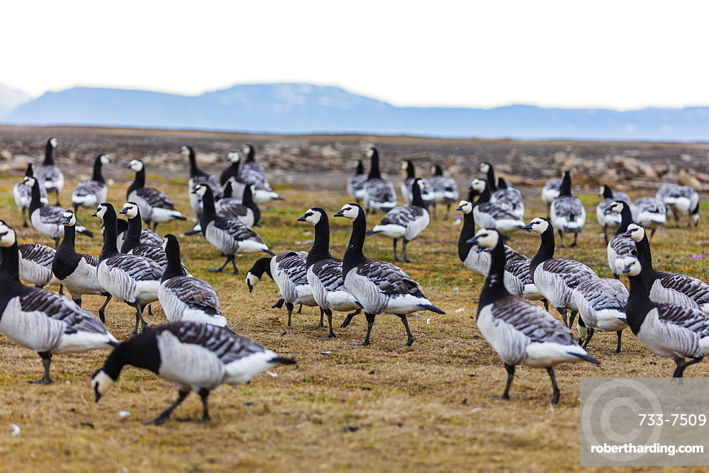 Barnacle goose (Branta leucopsis), Spitsbergen, Svalbard, Arctic, Norway, Europe