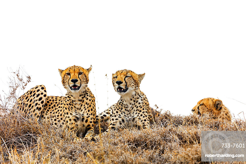 Cheetah (Acinonyx jubatus), Ngorongoro Crater Conservation Area, UNESCO World Heritage Site, Tanzania, East Africa, Africa