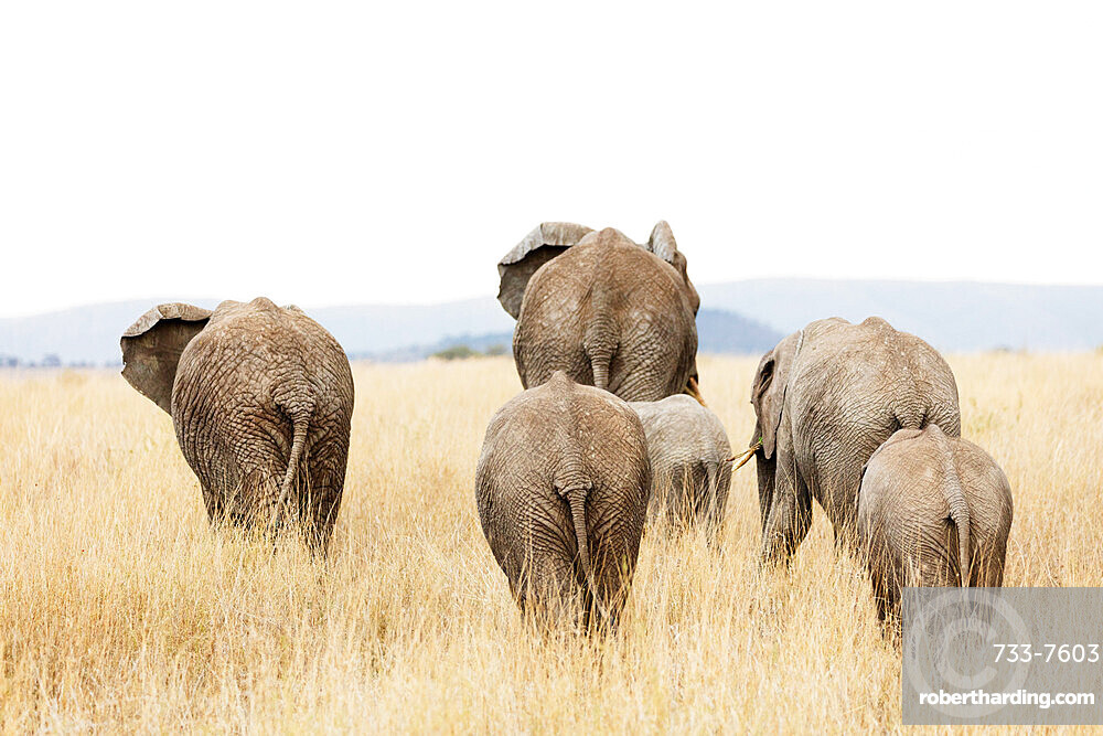 Family of African elephant (Loxodonta africana), Serengeti National Park, UNESCO World Heritage Site, Tanzania, East Africa, Africa