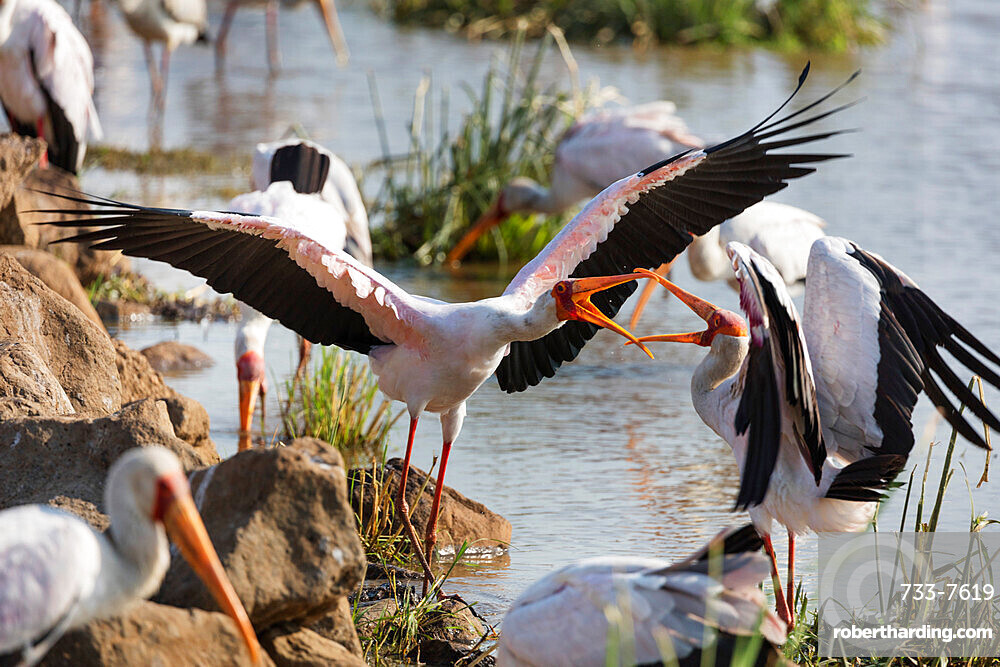 Yellow billed stork (Mycteria ibis) fighting, Lake Manyara National Park, Tanzania, East Africa, Africa