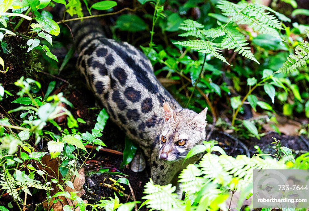 Serval wild cat (Leptailurus serval), Kilimanjaro National Park, UNESCO World Heritage Site, Tanzania, East Africa, Africa