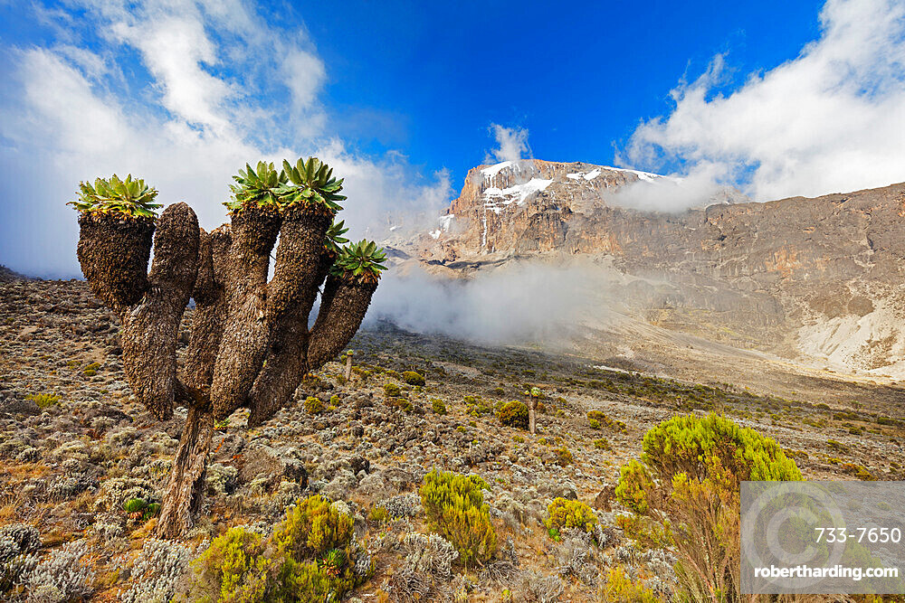 East Africa, Tanzania, Kilimanjaro National Park, Unesco World Heritage site, Lobelia morogoroensis plants