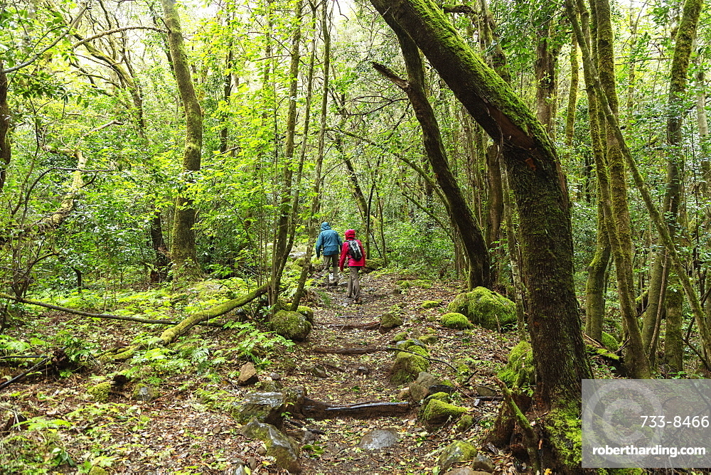 Europe, Spain, Canary Islands, La Gomera, Unesco Biosphere site, rainforest in Garajonay National Park