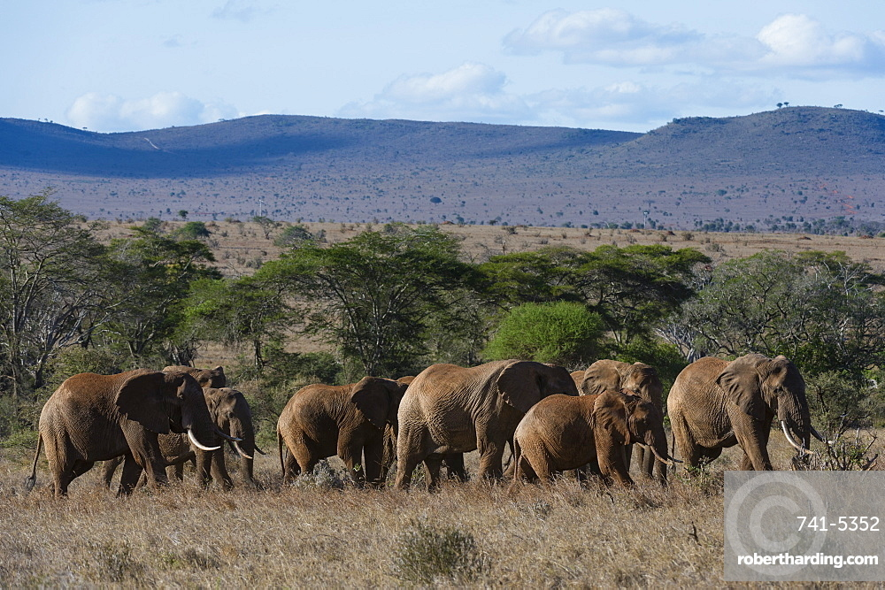 a large herd of african stock photo