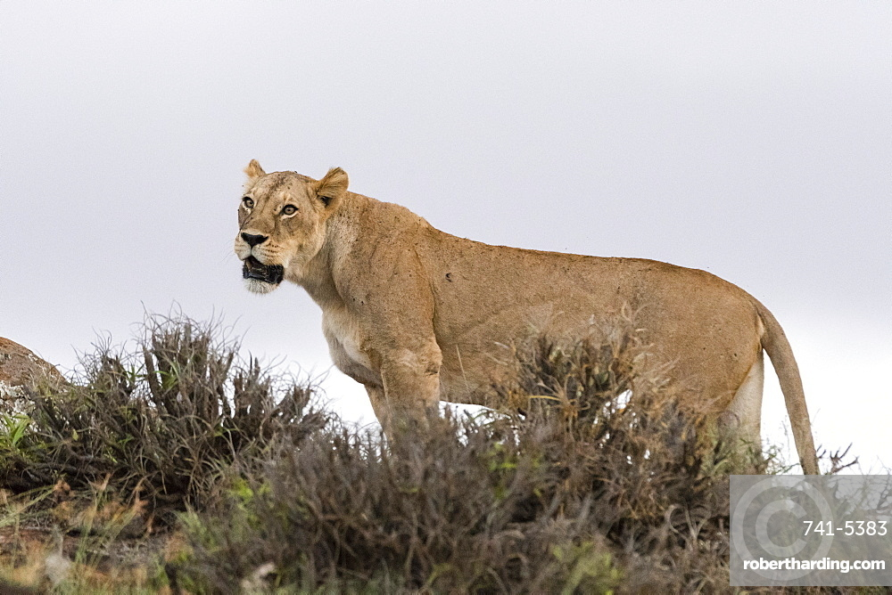 A lioness (Panthera leo) standing on a kopje known as Lion Rock in Lualenyi reserve, Tsavo, Kenya, East Africa, Africa