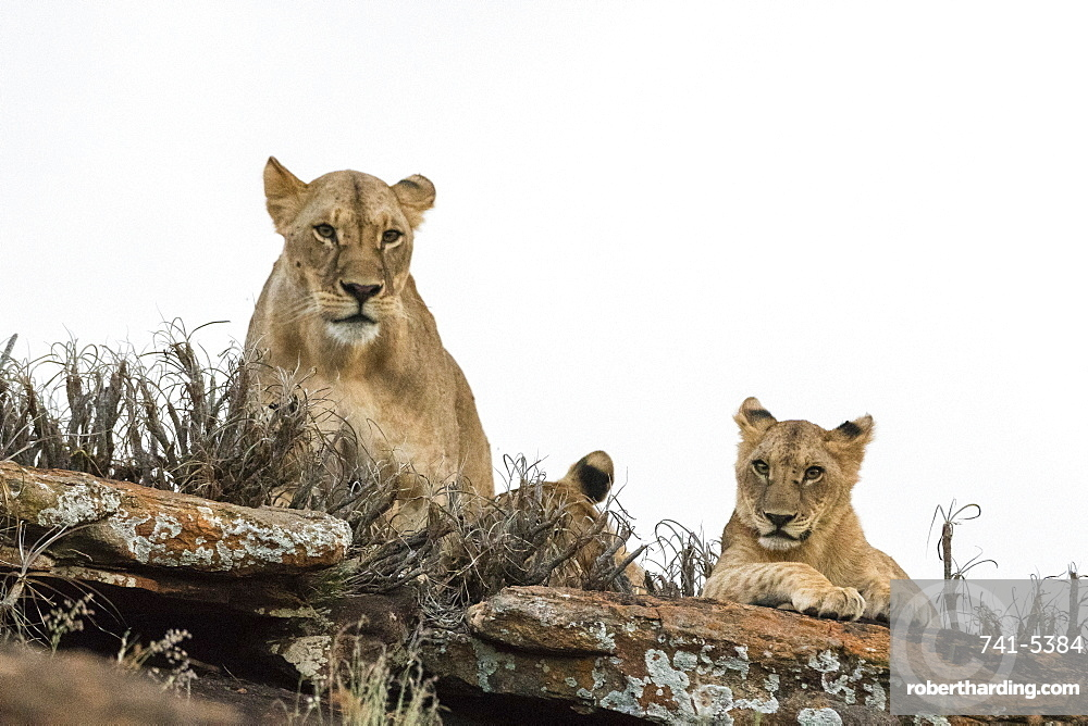 A lioness and cubs (Panthera leo) on a kopje known as Lion Rock in Lualenyi reserve, Tsavo, Kenya, East Africa, Africa