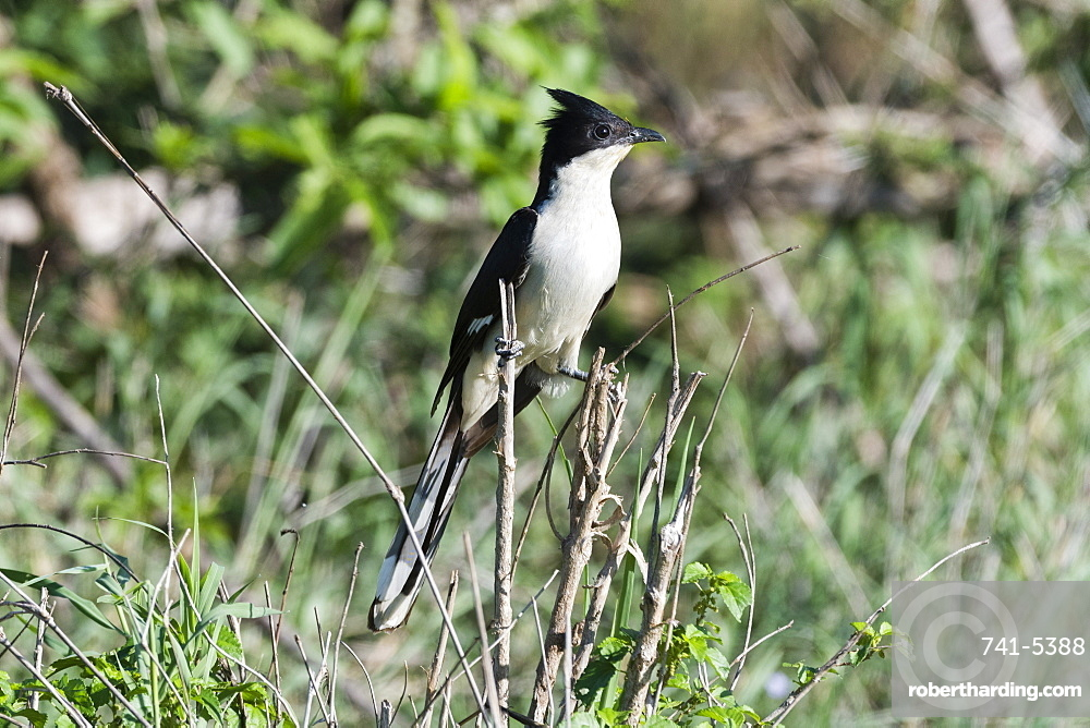 A black and white cuckoo (Oxylophus jacobinus), perching, Tsavo, Kenya, East Africa, Africa