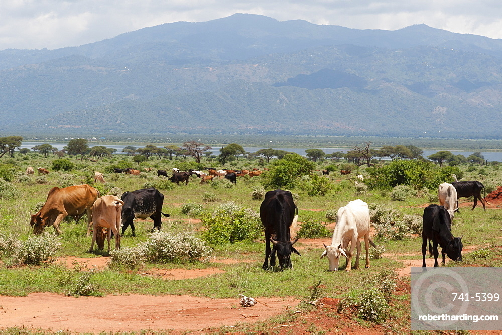 Cattle illegally grazing into the Tsavo West National Park near Lake Gipe, Kenya, East Africa, Africa