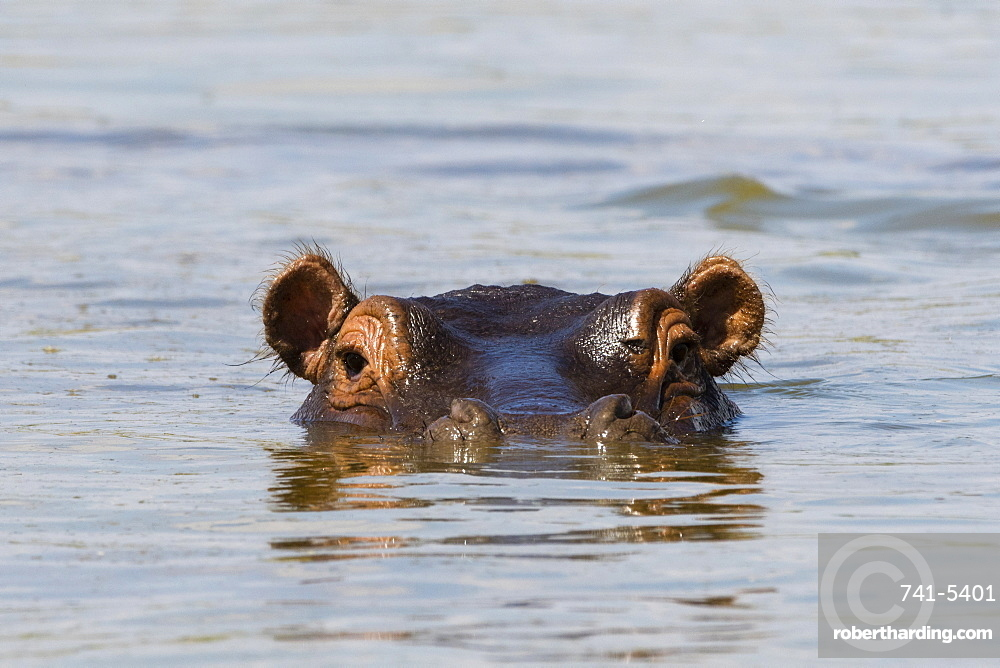 A Hippopotamus (Hippopotamus amphibius) looking at the camera, Tsavo, Kenya, East Africa, Africa