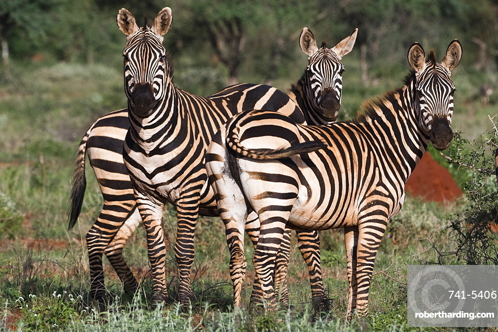 Portrait of three common zebras (Equus quagga) in a green savannah, looking at the camera, Tsavo, Kenya, East Africa, Africa