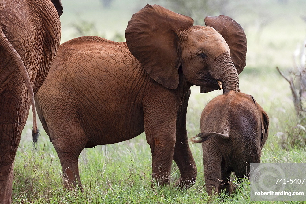 A young African elephant (Loxodonta africana) and a calf, Tsavo, Kenya, East Africa, Africa