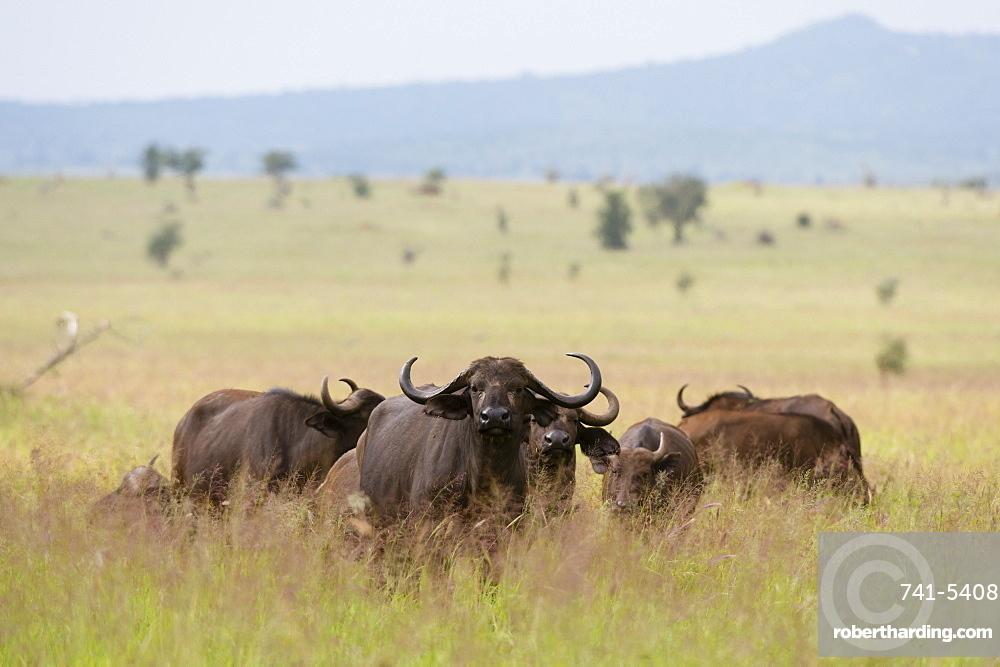African buffalos (Syncerus caffer), Tsavo, Kenya, East Africa, Africa