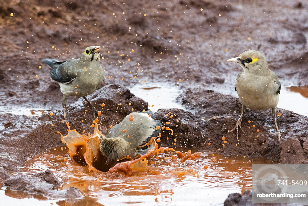 Wattled starlings (Creatophora cinerea) in a water pool, Tsavo, Kenya, East Africa, Africa