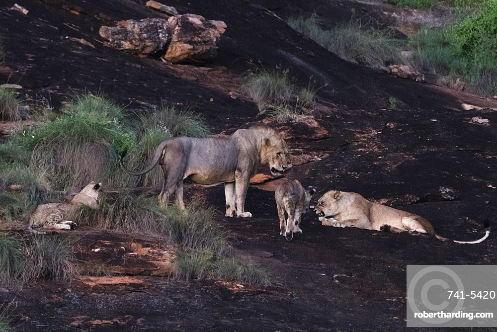 A lion pride (Panthera leo) at dusk on a kopje known as Lion Rock in Lualenyi reserve, Tsavo, Kenya, East Africa, Africa