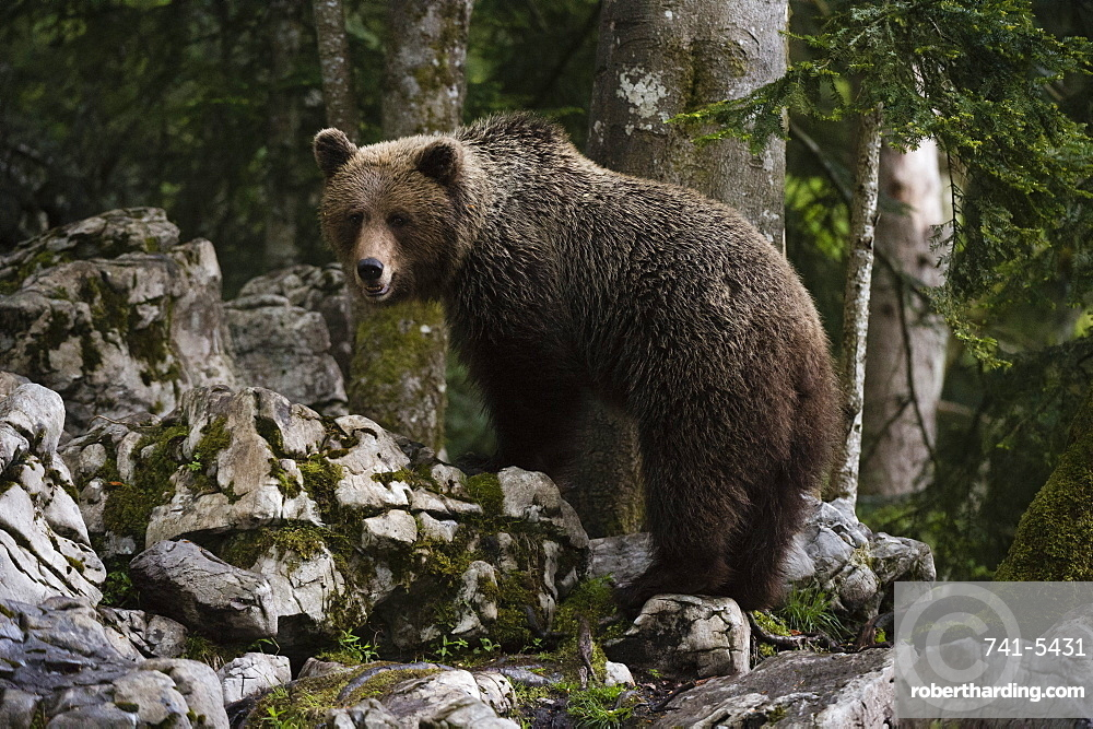 European brown bear (Ursus arctos), Slovenia, Europe
