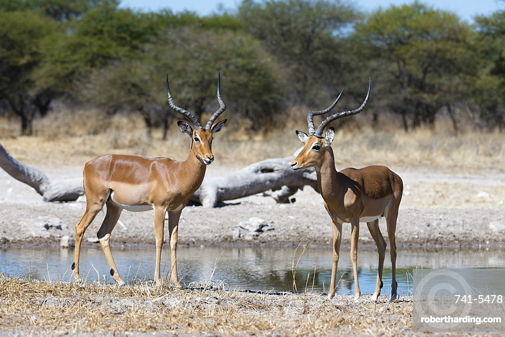 Two male impalas (Aepyceros melampus) at waterhole, Botswana, Africa